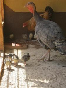 Kalkoen en Kip met jongen_5