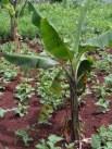 de bonen en mais groeien goed